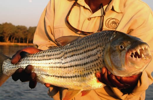 Fishing for Tiger Fish is one of the seasonal specialties of the Zambezi River