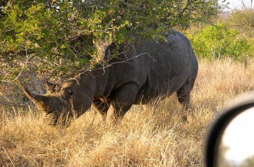 Take pictures and observe the endangered white rhino
