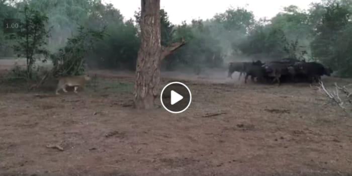 Video: 4 lionesses take on a heard of bufallo