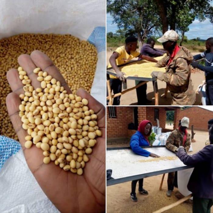 Farmers begin harvesting and sorting soybean seeds