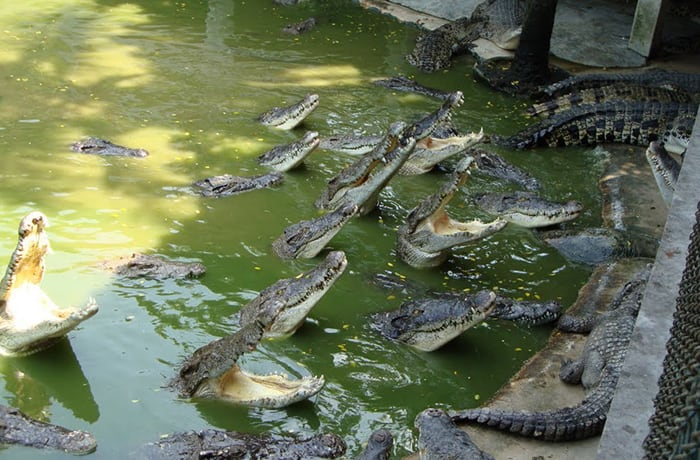 Crocodile breeding