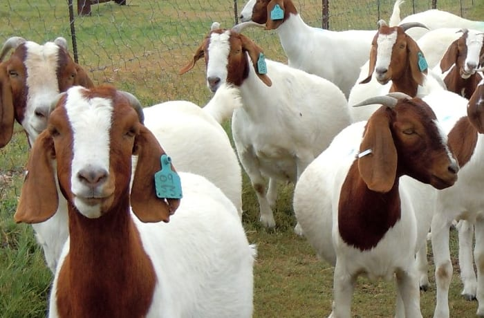 Consultancy and training services in livestock production