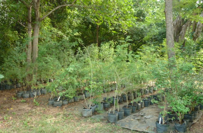 10 varieties of Acacia tree saplings currently available in stock