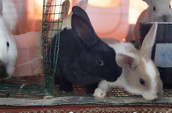 Pure rabbit breeds