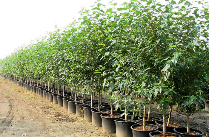 Indigenous trees, shrubs and climbers for sale