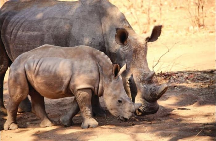 Experience the endangered white rhino up close!