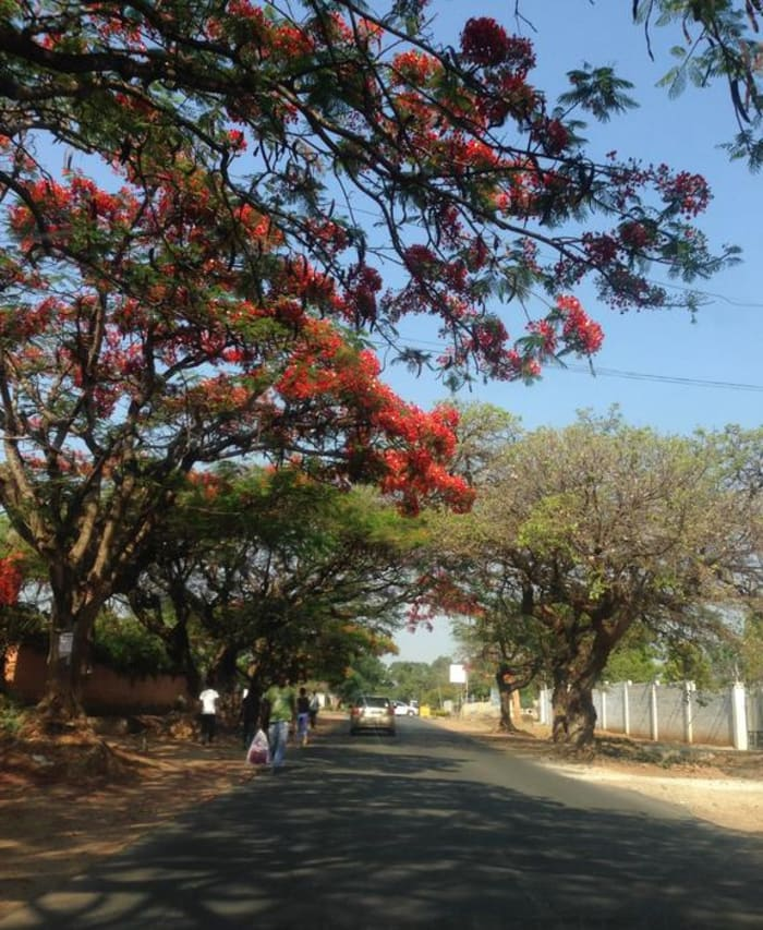 Church Road the Flamboyant and Jacaranda tree lined street of Moor Apartments