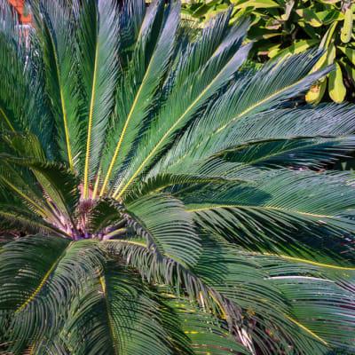 Cycad Cycadophyta Pine Apple Palm image