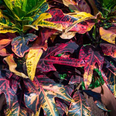 Croton  Codiaeum Variegatum San Francisco image
