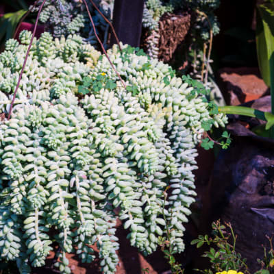 Succulent Crassulaceae Burro's Tail Donkey's Tail image