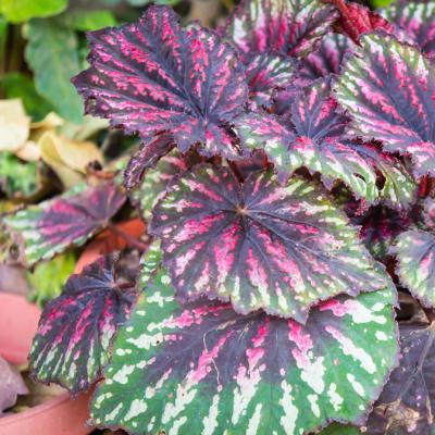 Rex Begonia Begoniaceae  Pink Charming Begonia Rex-Cultorum image