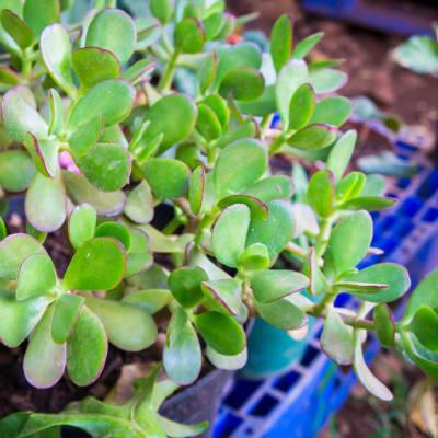 Succulent  Portulacaria Afra Elephant Bush  image