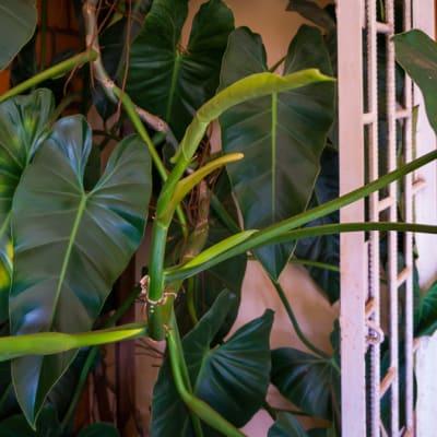 Climbing Philendendron Brasil  Heart Shaped Leaves image