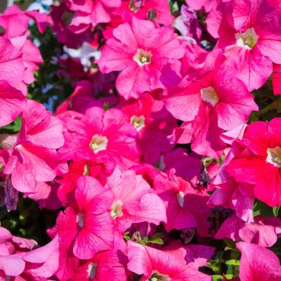 Flowers Decorative Garden Plants Petunias  image