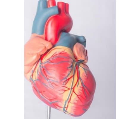 Adult heart model image