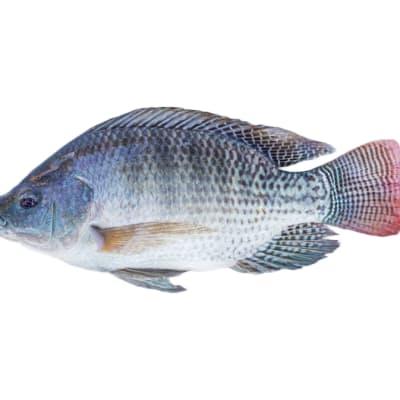 Fresh Yalelo Zambian Tilapia Whole Round - 10kg  image
