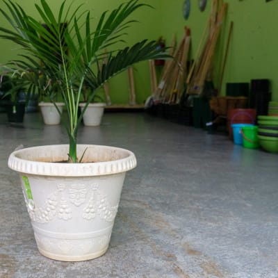 Sandy's Creations - 1 Green Bamboo Palm in Pot image
