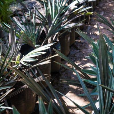 Sandy's Creations - Bismarckia Palm image