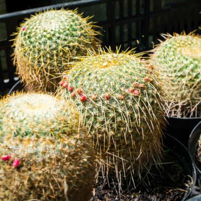 Sandy's Creations - Cactus  image
