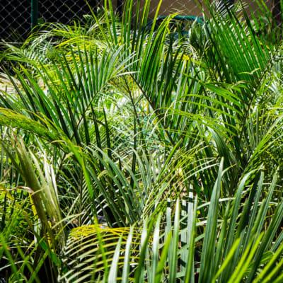 Sandy's Creations -  Neodypsis Triangle Palm image