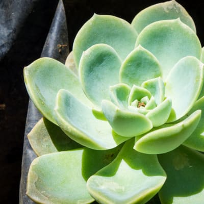 Sandy's Creations - Cabbage Cactus  image