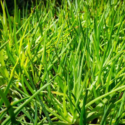 Sandy's Creations - Bulbine Frutescens Grass Aloe image