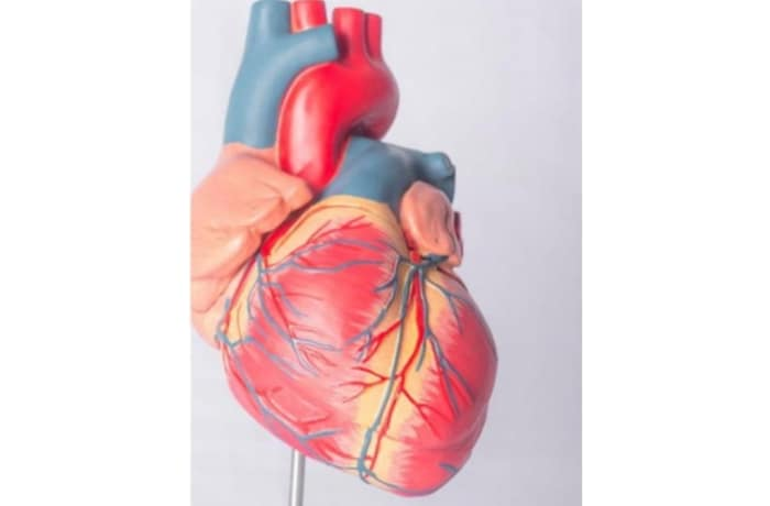 Adult heart model