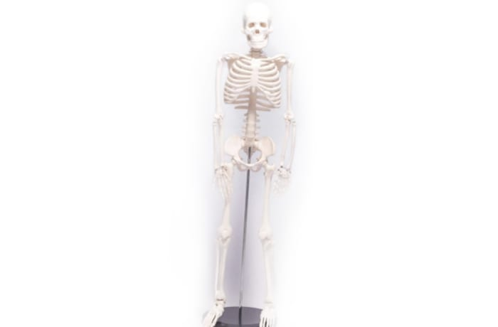 Artificial human skeleton (male)