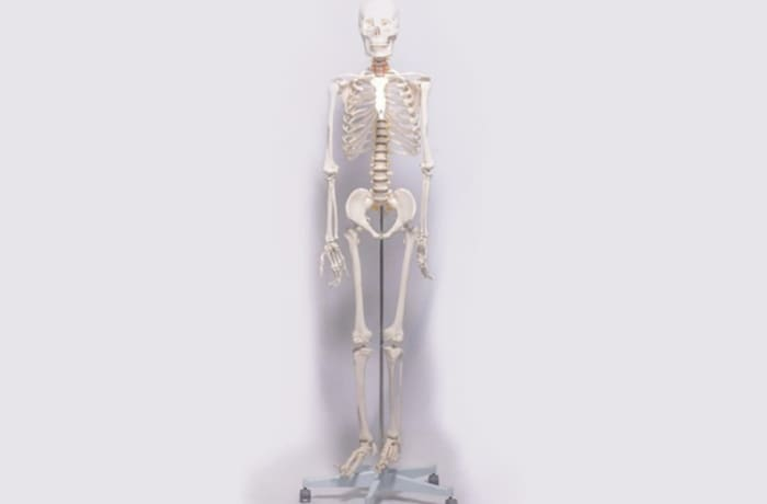 Human skeleton with male 85cm -1