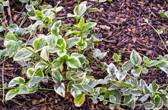 Variegated ground-cover plant
