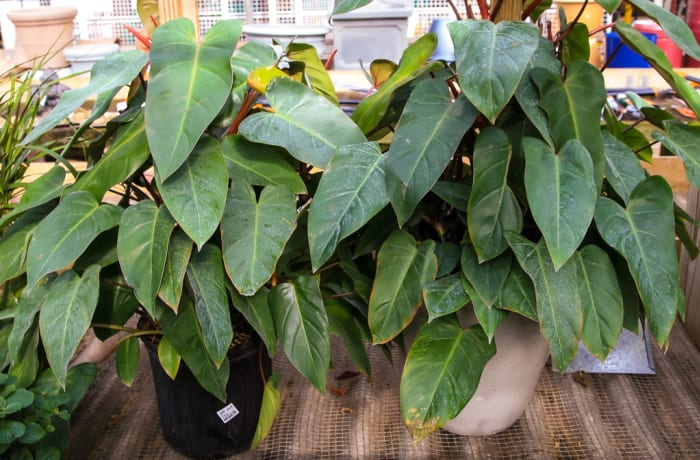 Congolese shrub