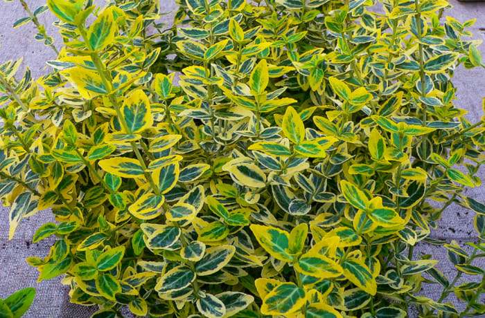 Euonymus gold