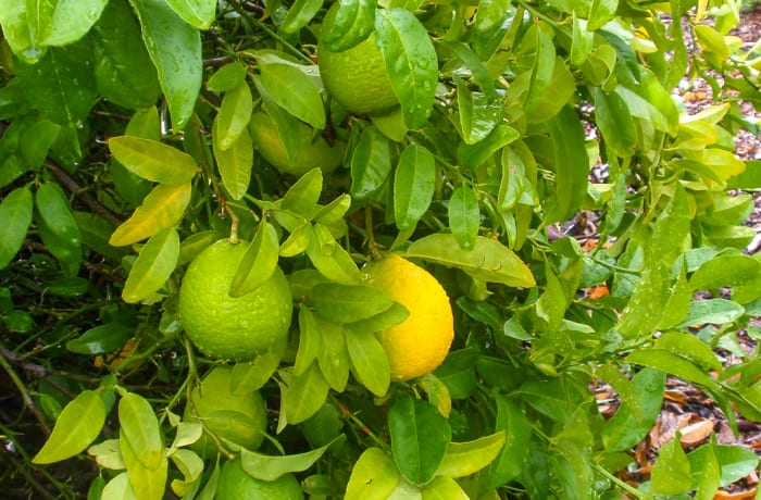 Thai Lime Citrus Saplings