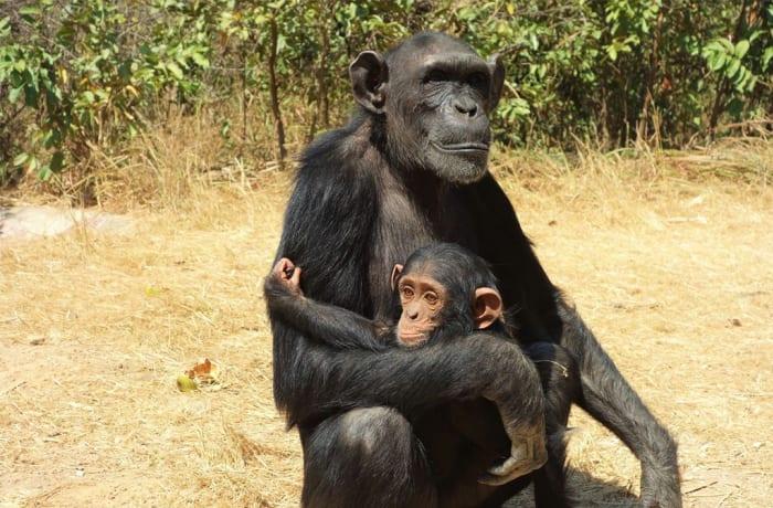 Chimfunshi Wildlife Orphanage for Chimpanzees