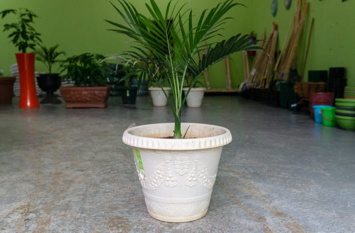 Sandy's Creations - 1 Green Bamboo Palm in Pot