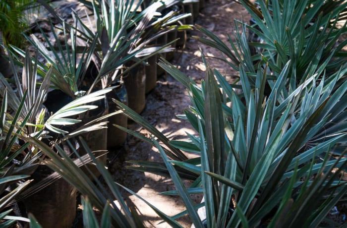 Sandy's Creations - Bismarckia Palm
