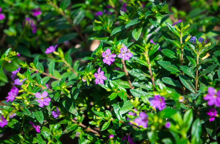 Sandy's Creations - Cuphea Hyssopifolia Purple