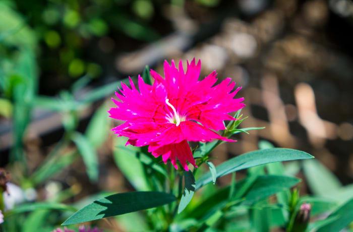 Sandy's Creations - Dianthus Pllodian