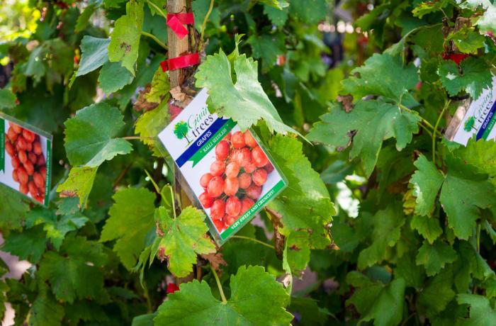 Sandy's Creations - Grape Ralli Seedless