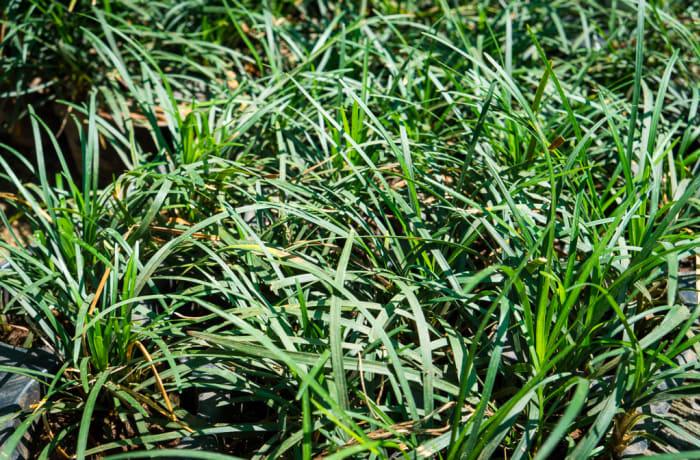 Sandy's Creations - Ophiogo Mondo Grass