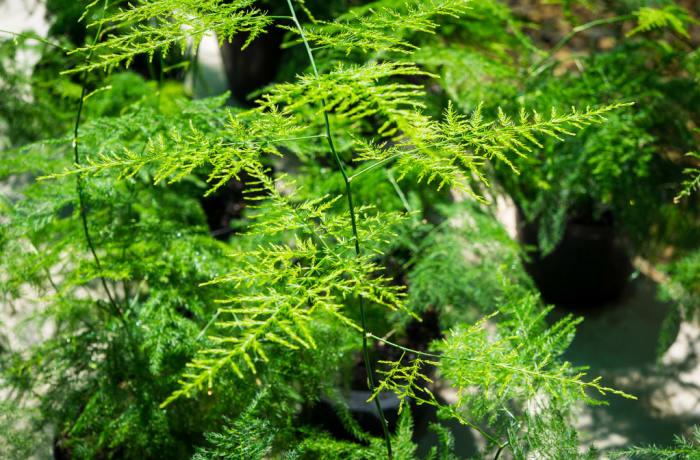 Sandy's Creation - Asparagus Plumosus