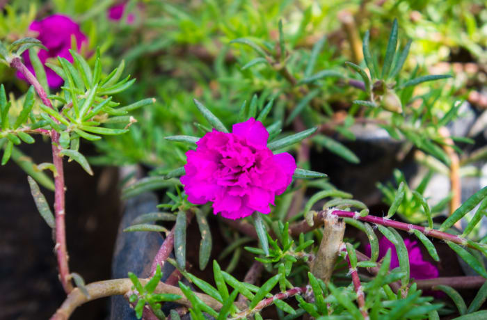 Sandy's Creations - Portulacca