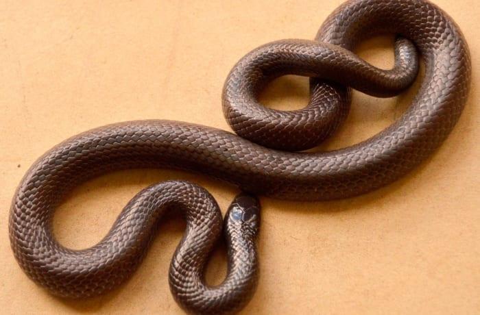 Bibron's Burrowing Asp (Atractaspis bibroni, congica) image