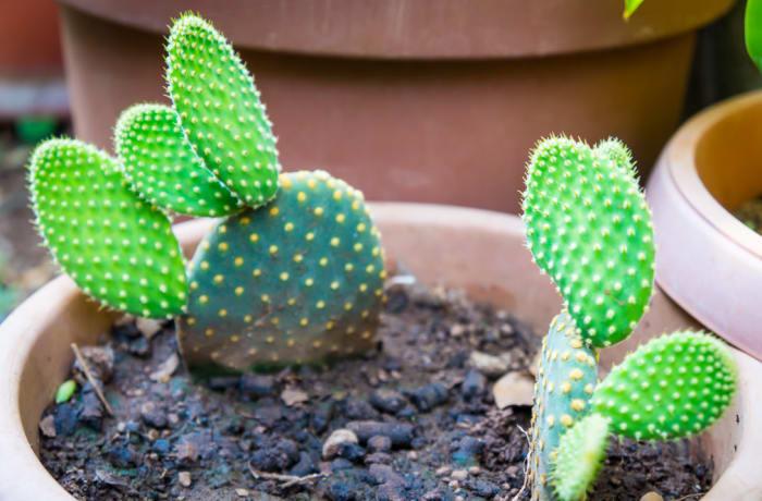 Cactus  Opuntia Microdasys  Bunny Ears image
