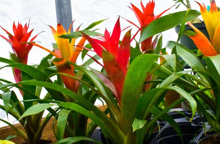 Bromeliad image
