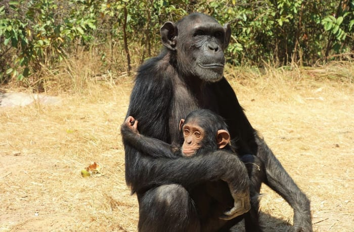 Chimfunshi Wildlife Orphanage for Chimpanzees image