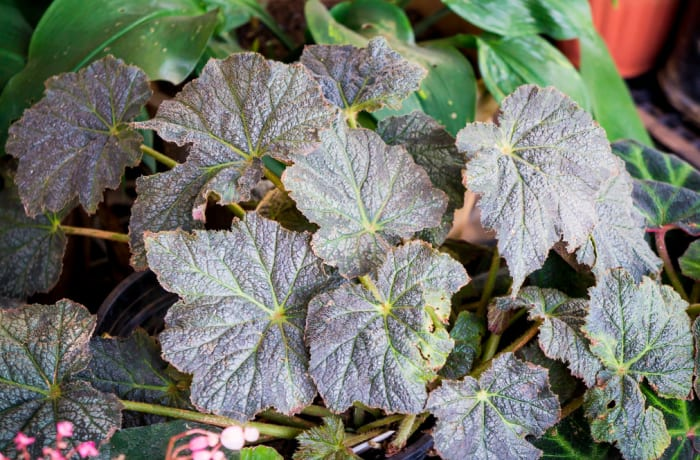 Flowering Plant Perennial Begoniaceae Begonias   image