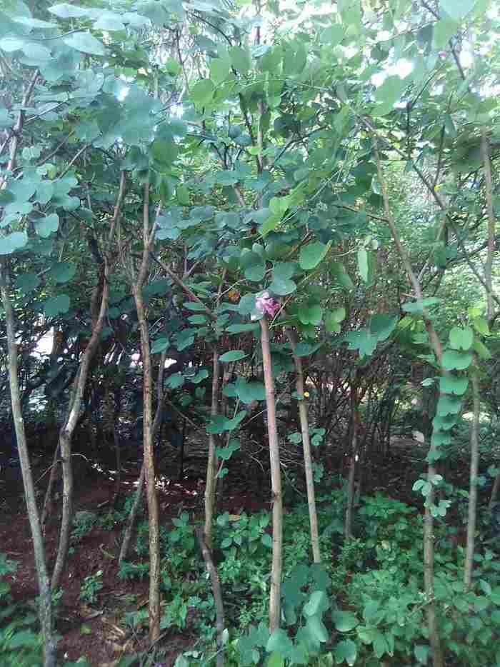 jual Jual pohon kupu kupu 082312784749.087777643603