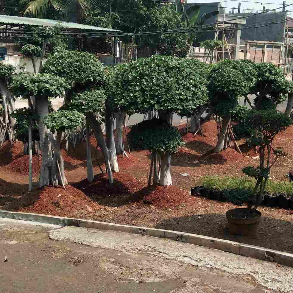 jual Jual pohon beringin putih 082312784749