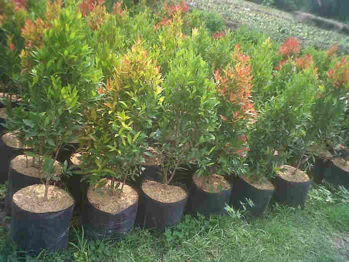 jual Jual pohon pucuk merah 082312784749.087777643603